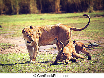 Small lion cubs with mother. Tanzania, Africa - Small lion...