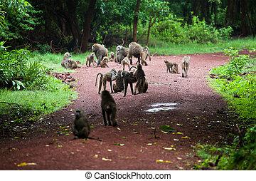 Baboon monkeys in African bush - Group of Baboon monkeys in...