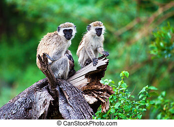 The vervet monkey, Lake Manyara, Tanzania, Africa. - The...