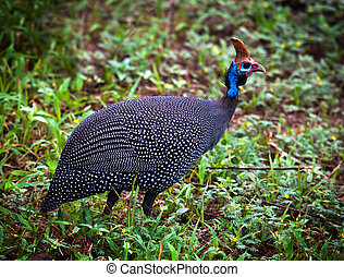 The wild Helmeted Guineafowl in Africa - The Helmeted...