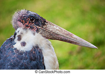 The Marabou Stork in Tanzania, Africa - The Marabou Stork...