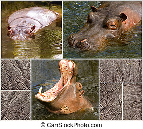 Images collection of hippopotamus and their skin - Images...