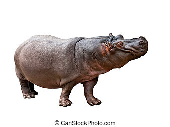 Hippopotamus amphibius - Isolated hippopotamus on white...