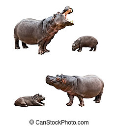 Family hippos with babes - Two pairs of family hippos and...