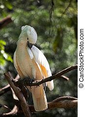Cockatoo Cacatua alba on a dead tree branch