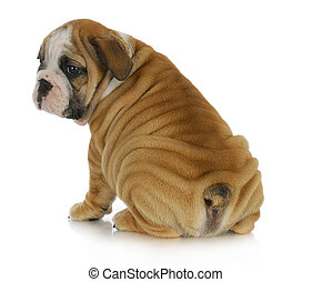 wrinkly puppy - english bulldog puppy with lots of wrinkles...