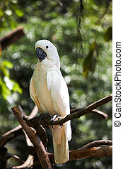 Cockatoo (Cacatua alba) on a dead tree branch