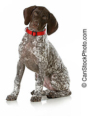 german short haired pointer puppy wearing red collar sitting...
