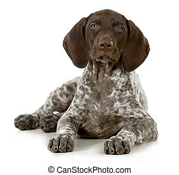 german short haired pointer puppy laying down on white...