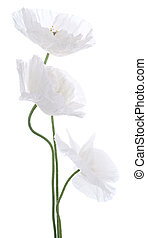 poppy - Studio Shot of White Colored Poppy Flowers Isolated...