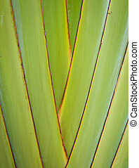 Petiole pattern of  Traveler's Palm