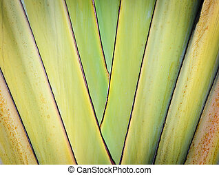 Petiole pattern of Travelers Palm