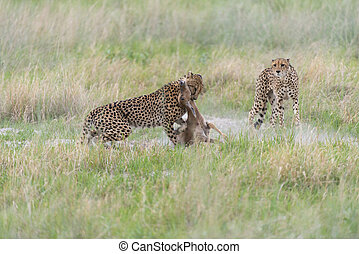 Cheetah making a kill - Three Cheetahs were hunting, they...