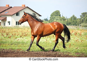 Brown horse trotting at the field in summer