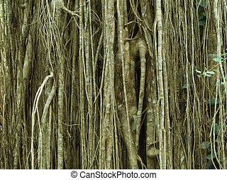 Strangler Fig, Curtain Fig, Atherton Tablelands, Queensland,...