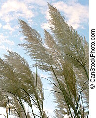 Pampas Grass Flowers - White pampas grass Cortaderia...