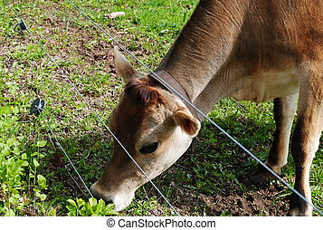Jersey cow - A jersey cow eating grass