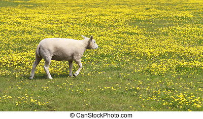 Young lamb in a meadow of yellow flowers