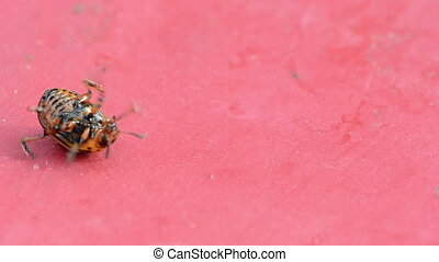 colorado bug red board - closeup of colorado potato beetle...