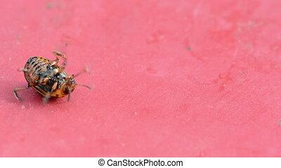 colorado bug red board