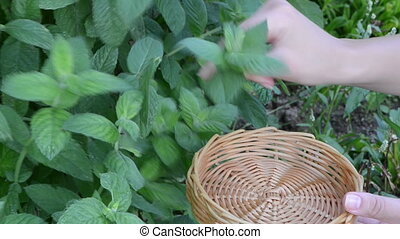 hand gather mint leaf - woman hands gather pick mint leaves...