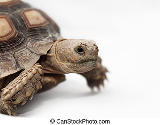African Spurred Tortoise Geochelone sulcata isolated on...