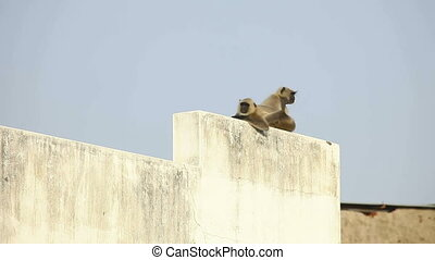 Langurs - Langurs observing from the rooftop