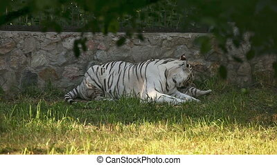 Tiger family. - White tigress washing up a little cub at the...