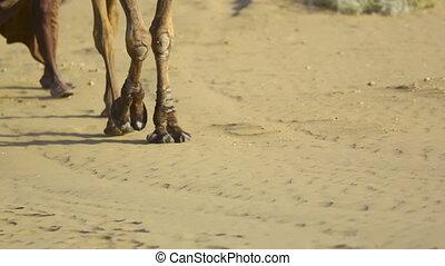 Caravan - Teamster pulling two camels