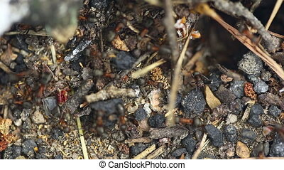 Ant nest. Macro. - Ants at the ant nest, close-up.