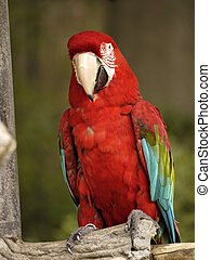 Green Winged Macaw - A green winged macaw sits on a perch.
