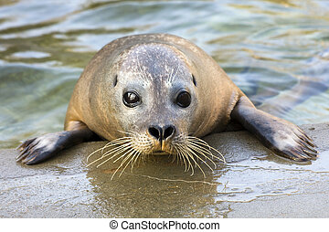 Harbour seal - Young harbour seal (Phoca vitulina)