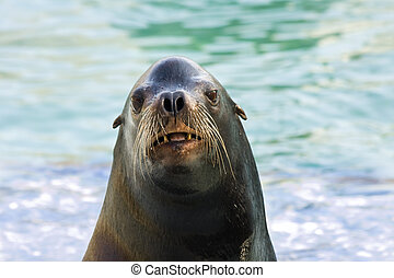 Head of a sea lion - California sea lion (Zalophus...