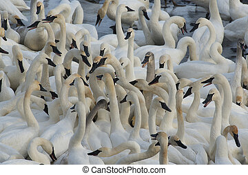 Trumpeter Swans - Large flock of feeding swans