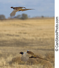 Two Roosters in Flight - Two Rooster Pheasants in flight