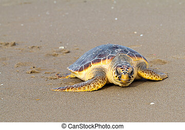Loggerhead Sea Turtle go to the Mediterranean sea