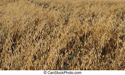 closeup oat field autumn - closeup man hand touch ripe oat...