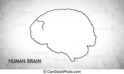 Human Brain 05 - The human brain structure animation...
