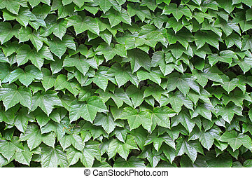 ivy leaves vertical greening, closeup of pictures
