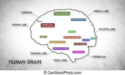 Human Brain 11 - The human brain structure animation...