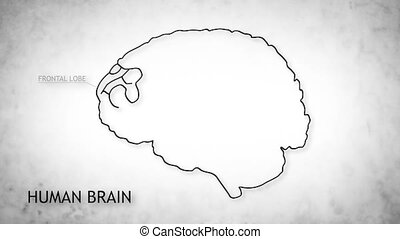 Human Brain 12 - The human brain structure animation...