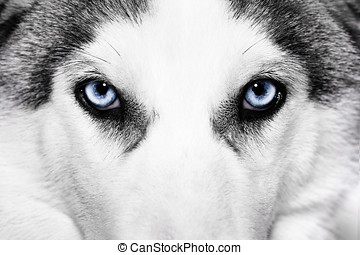 close-up shot of husky dog blue eyes