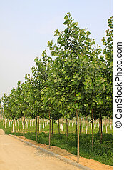 poplar in a nursery garden north china