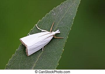 blanco, polillas, insectos