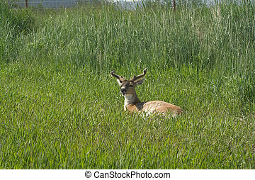 A Sitka black-tailed deer bleets - This Sitka black-tailed...