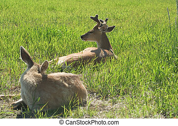 Two Black Tailed Sitka Deer - This pair of black tailed...