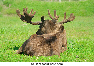 Bullmoose laying in grass