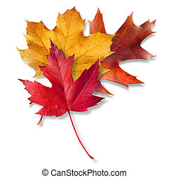 Three Fall leaves - Three Colorful Fall leaves layered on...
