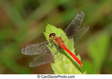 red dragonfly - a red dragonfly lurking on the leaves