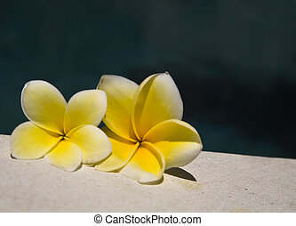 Frangipani - White frangipani by the poolside